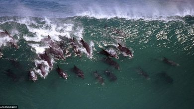 Photo of Surfing Dolphins!